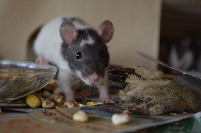 patkányirtás Apc