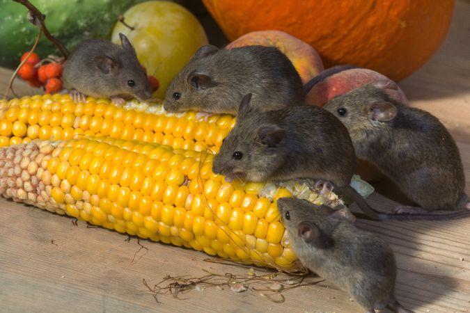 patkányirtás Boldog
