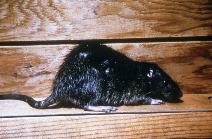 patkányirtás Egerszalók