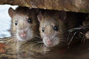 patkányírtás
