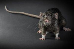 patkányirtást Pest megyében