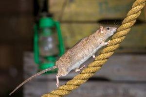 patkányirtás Pest megye